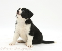 Black-and-white Border Collie puppy, 6 weeks old, sitting