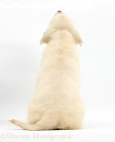 Golden Retriever pup, back view
