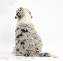 Merle Border Collie puppy, 6 weeks old, back view