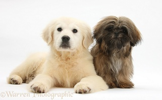 Golden Retriever pup with brown Shih-tzu