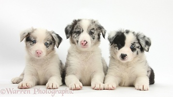 Border Collie puppies, 6 weeks old