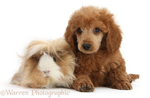 Apricot miniature Poodle pup and Guinea pig