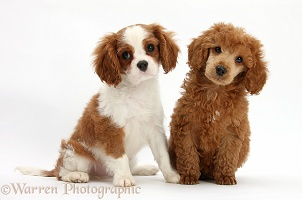 King Charles pup with Poodle pup