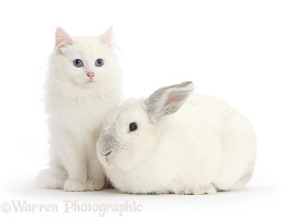 White Maine Coon-cross kitten and white rabbit