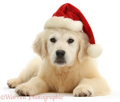Yellow Labrador Retriever pup wearing a Santa hat