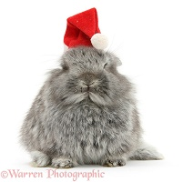 Young Silver Lionhead rabbit wearing a Santa hat