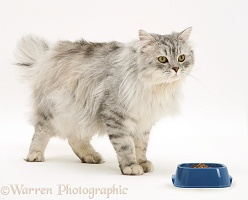 Chinchilla Persian cat with food