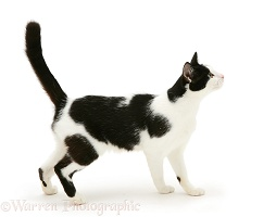 Black-and-white cat standing