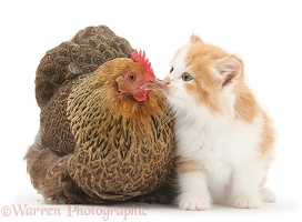 Chicken and kitten