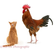 Ginger kitten staring up at a large rooster