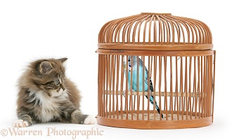 Maine Coon kitten and Budgie