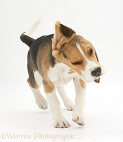 Beagle pup shaking himself