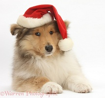 Rough Collie pup wearing a Santa hat