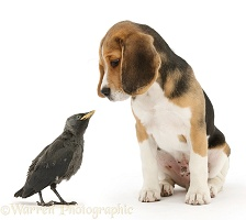 Beagle pup with fledgling Jackdaw