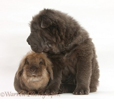 Blue Bearcoat Shar Pei pup and rabbit