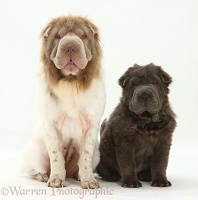 Bearcoat Shar Pei mother and pup
