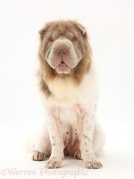 Bearcoat Shar Pei bitch