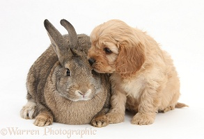 Agouti rabbit and Cavapoo pup, 6 weeks old