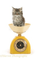 Tabby kitten, being weighed