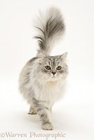 Silver tabby Chinchilla male cat