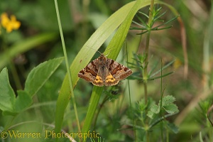 Burnet Companion Moth