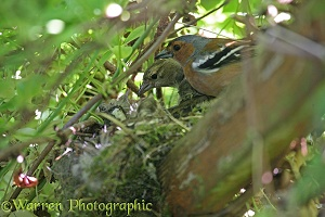 Chaffinches at nest