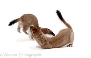 Stoats playing