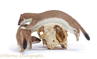 Stoats playing around skull