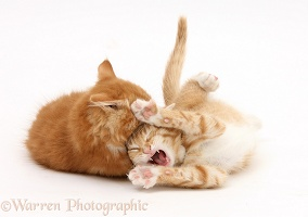 Two ginger kittens in play fight embrace