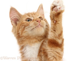 Ginger kitten reaching up with a paw