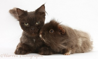Chocolate cat and shaggy Guinea pig