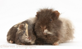 Chocolate shaggy Guinea pig and baby