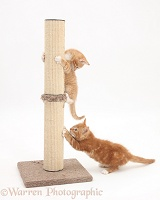 Ginger kittens playing with scratch post