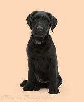 Black Labrador-cross pup