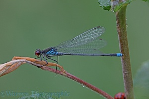 Small Red-eyed Damselfly after rain
