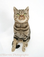 British Shorthair Brown Spotted cat