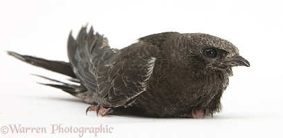 Fledgling Swift