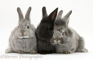 Young rabbits, two silver and one black
