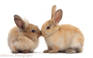 Young sandy rabbits nose-to-nose
