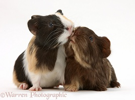 Tortoiseshell and chocolate baby Guinea pigs kissing