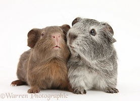 Silver and chocolate baby Guinea pigs