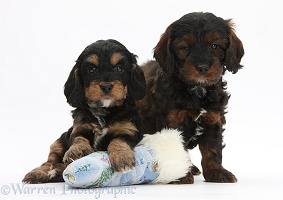 Cockapoo pups with Santa stocking