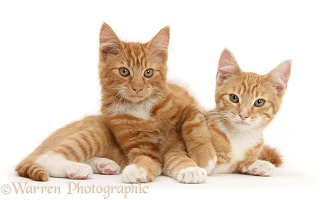 Two ginger kittens, lounging together