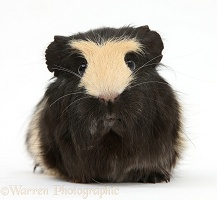 Black-and-yellow Guinea pig with interesting markings