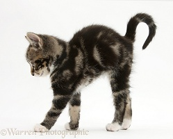 Tabby kitten stretching