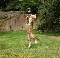 Ginger kitten leaping to catch a soap bubble