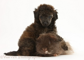 Red merle Toy Poodle pup and shaggy Guinea pig