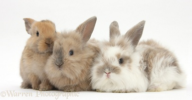 Three baby Lionhead-cross rabbits