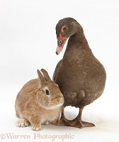 Duck and rabbit