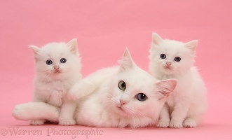 Mother white cat and kittens on pink background